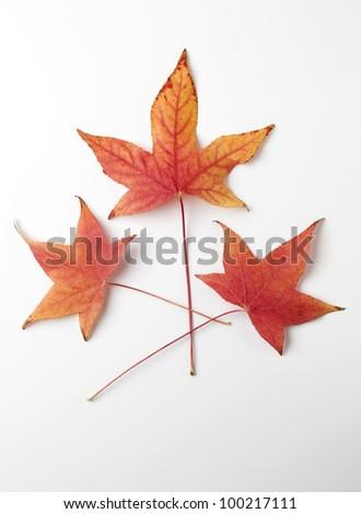 Group of Liquidambar Tree Leaves - stock photo
