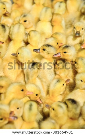 group of little yellow ducklings - stock photo