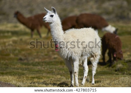 Group of llama (Lama glama) and alpaca (Lama pacos) grazing on a wetland in Lauca National Park, northern Chile. - stock photo