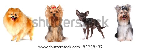 Group of luxury lap dogs isolated on white: pomeranian spitz, yorkshire terrier, chihuahua and biver yorkshire terrier. - stock photo