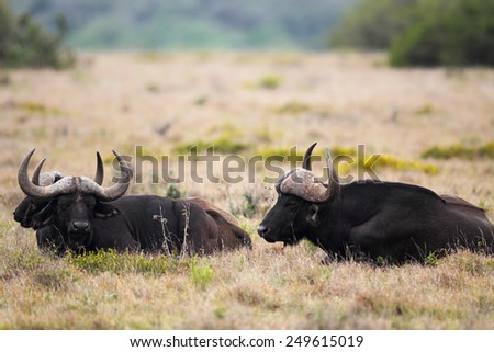 Group of Male Cape Buffalo (Syncerus caffer) resting in the grass in the Amakhala Game Reserve, Eastern Cape, South Africa. - stock photo