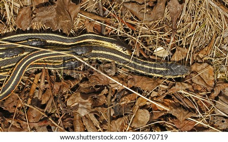 Group of male red sided garter snakes Thamnophis sirtalis parietalis trying to mate with bigger female in Narcisse, Manitoba, Canada. - stock photo