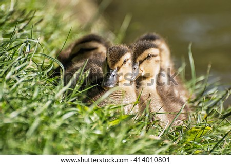 Group of Mallard ducklings - Anas platyrhynchos - resting in the green grass. Birds scene. Beauty in nature. Young ones. Animal theme. - stock photo