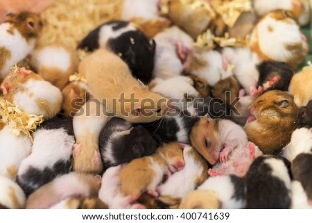 group of many young hamster mouses, selective focus at the top one, brown mouse - stock photo