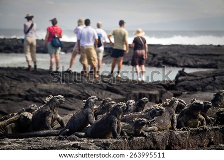 Group of marine iguanas with tourists overlooking the ocean in the background in Fernandina island, Galapagos Islands, Ecuador. Selective focus - stock photo