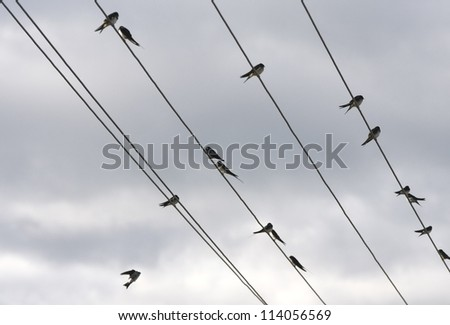 Group of migrating swallows sitting on wires - stock photo