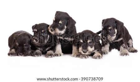 group of miniature schnauzer puppies