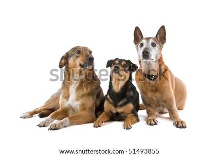 group of mixed breed dogs isolated on a white background