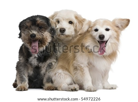 Group of mixed-breeds, in front of white background - stock photo