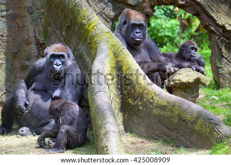 Group of mountain gorillas with babies - stock photo