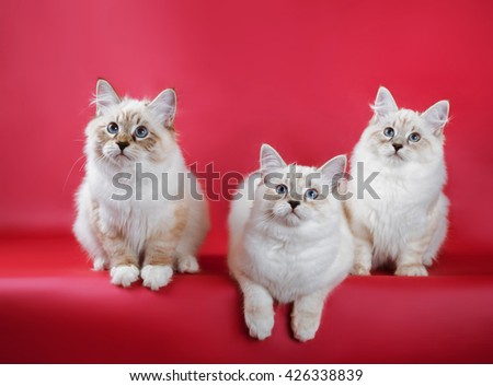group of neva masquerade kitten on red background - stock photo