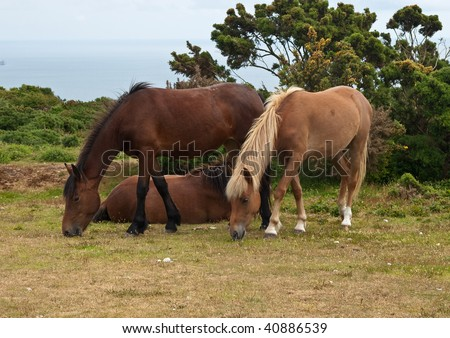 Group of new forest ponies grazing
