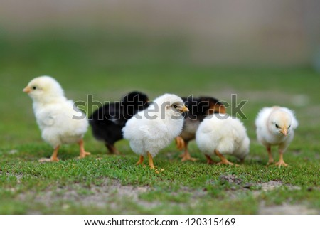 Group of newborn chicks on poultry yard - stock photo
