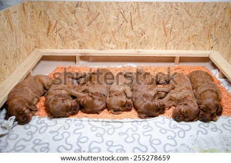 group of newborn small puppies of  irish setter - stock photo