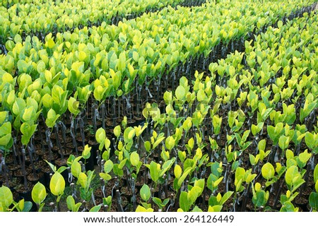 Group of nursery plant at nursery garden of Ben Tre, Mekong Delta, Viet Nam, this is large fruit tree area, green seedling grow in good condition - stock photo