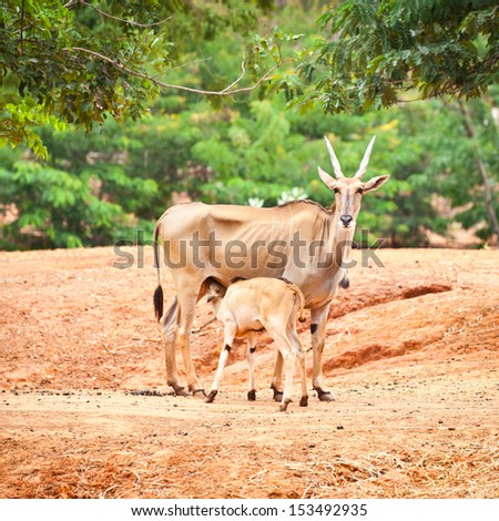 Group of Nyala Antelope in The zoo.