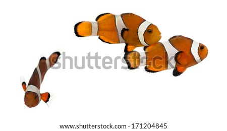 Group of Ocellaris clownfish, Amphiprion ocellaris, isolated on white - stock photo