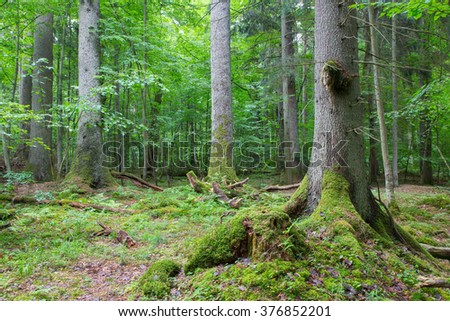 Group of old spruces inside deciduous stand of Bialowieza Forest,Poland,Europe - stock photo