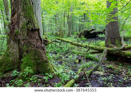 Group of old trees and old natural deciduous stand of Bialowieza Forest in background,Bialowieza Forest,Poland,Europe - stock photo