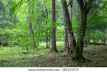 Group of old trees and old natural deciduous stand of Bialowieza Forest in background rain after - stock photo