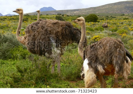 Group of Ostrich on an Ostrich Farm in South Africa (Struthio Camelus) - stock photo