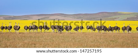 Group of ostriches along the Garden Route with yellow rapeseed fields in background, South Africa - stock photo