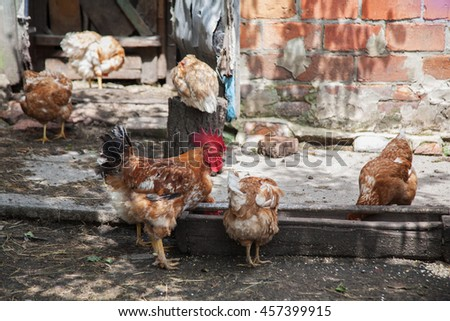 group of pasture raised chickens peck for feed on the feeder - stock photo
