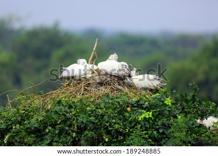 Group of pelicans sitting on the nest  - stock photo