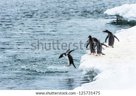 Group of penguins watch their friend jum into the water in Antarctica - stock photo