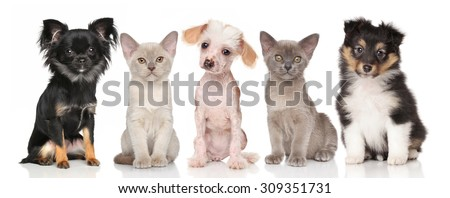 Group of pets - puppies and kitten on white background - stock photo