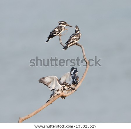 Group of Pied Kingfisher