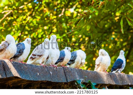 Group of pigeons. doves. - stock photo