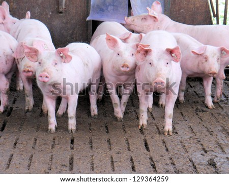 Group of pigs in a stable