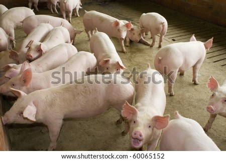 group of pigs in farm yard - stock photo