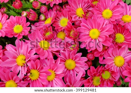 Group of Pink chrysanthemum flower yellow pollen - stock photo