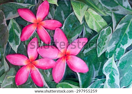 Group of pink drenched frangipani or Plumeria on green leaves - stock photo