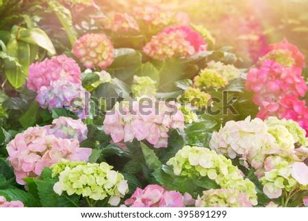 Group of Pink hydrangea flowers blooming in flower garden - stock photo