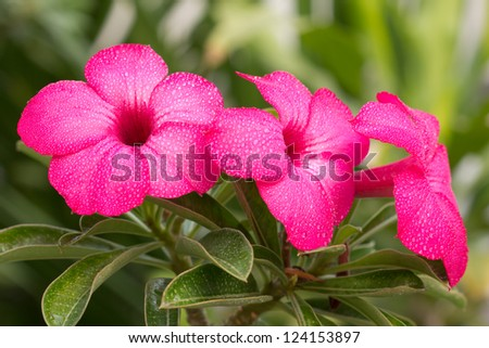 group of pink impala lily