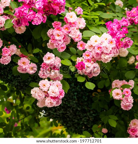 group of pink rose in the garden, the background is natural. - stock photo