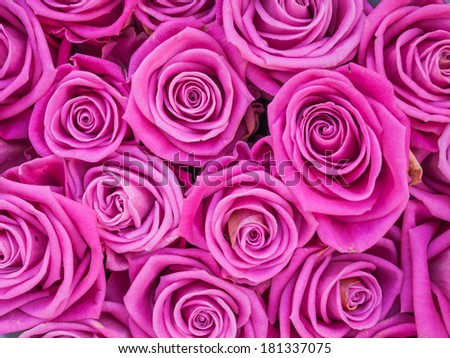 Group of pink roses crouded - stock photo