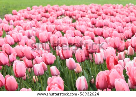 group of pink tulips - stock photo