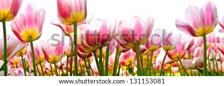 Group of pink tulips on a white background. Panorama. Spring landscape - stock photo
