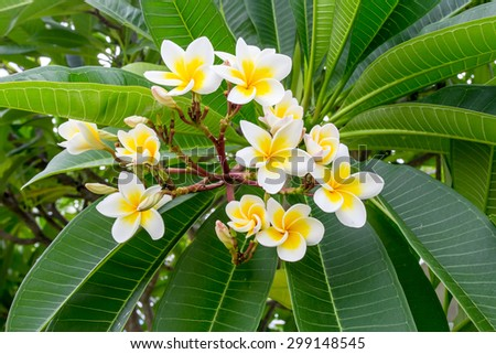 group of plumeria on tree