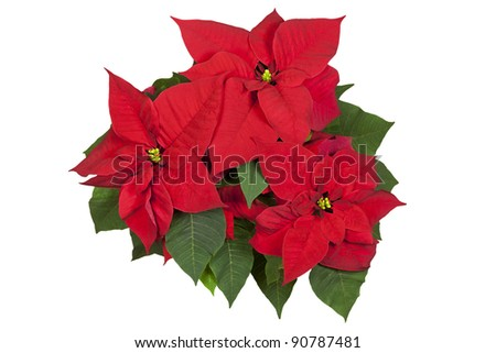 Group of poinsettia flowers isolated on white. Clipping path. - stock photo