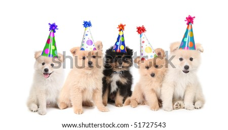 Group of Pomeranian Puppies Celebrating a Birthday on White Background - stock photo