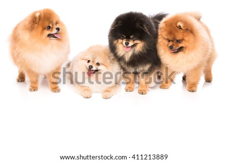 Group of pomeranian spitz dogs on white background
