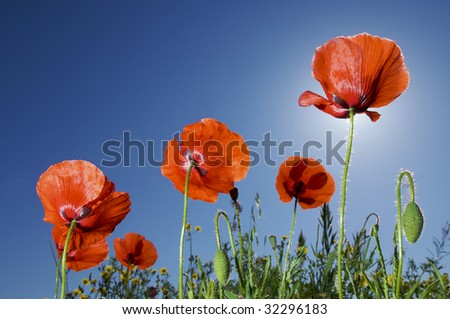 group of poppies with blue sky