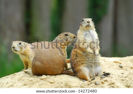 Group of prairie-dogs