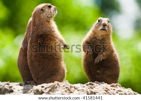 Group of prairie dogs looking around. These animals native to the grasslands of North America - stock photo