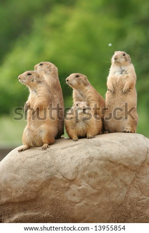 GRoup of prairie dogs standing on top of rock - stock photo